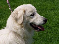 Sara, chien Slovensky cuvac