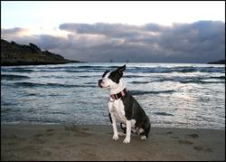C-Lia, chien American Staffordshire Terrier