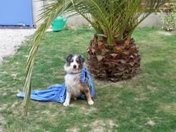 Speedway, chien Berger australien