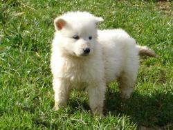 Iro, chien Berger blanc suisse