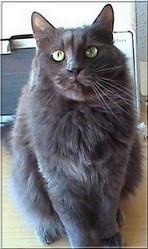 Le Gros, chat Angora turc