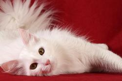 Esquimau, chat Angora turc