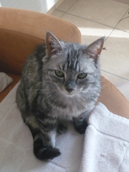 Pitchoune, chat Européen