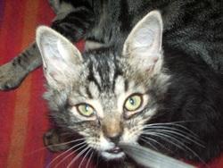 Lionna, chat Européen