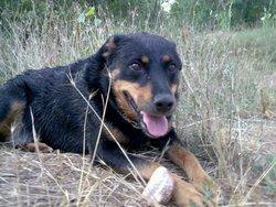 Ploumi, chien Rottweiler