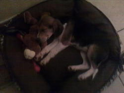 Foxy, chien Beagle-Harrier