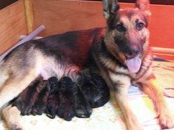 Chaida Des Terres De Brumes, chien Berger allemand