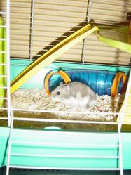 Myrtille, rongeur Hamster