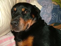 Lenny, chien Rottweiler