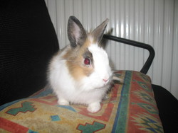 Canelle, rongeur Lapin