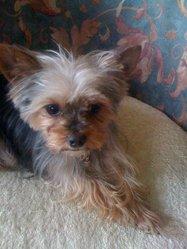 Dina, chien Yorkshire Terrier