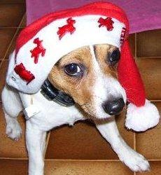 Nova, chien Jack Russell Terrier