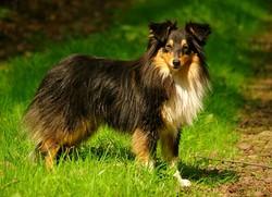 Queen , chien Berger des Shetland