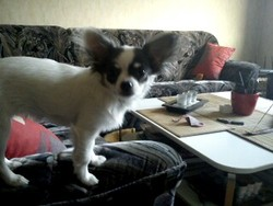 Fendjy, chien Chihuahua