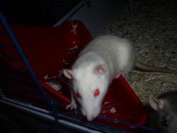 Mimzy, rongeur Rat