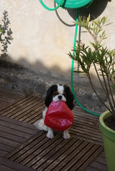 Cleya, chien Cavalier King Charles Spaniel