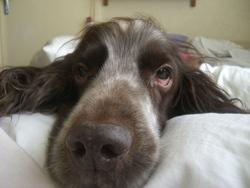 Matcho Au Paradi, chien Springer anglais
