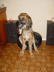 Tarkan, chien Lévrier afghan