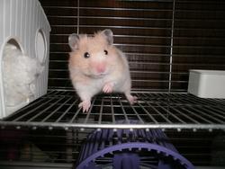 Ravioli, rongeur Hamster