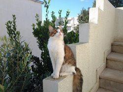 Bchira, chat Scottish Fold à poil long