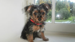 Félicy, chien Yorkshire Terrier