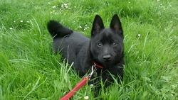 Flower, chien Schipperke