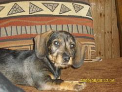 Choupette, chien Teckel
