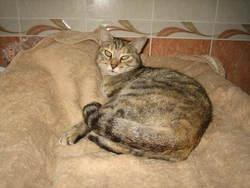 Ainhoa, chat Gouttière