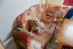 Princesse, chien Caniche