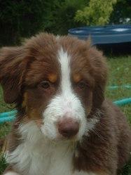 Darwin, chien Berger australien