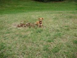 Erine, chien Pinscher