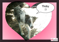 Thoby, chien Border Collie