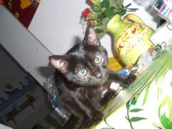 Marysou, chat Européen
