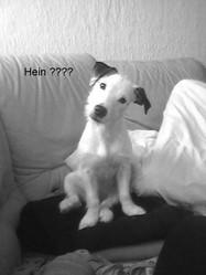 Fizz, chien Jack Russell Terrier
