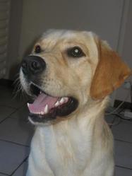 Jarod, chien Labrador Retriever