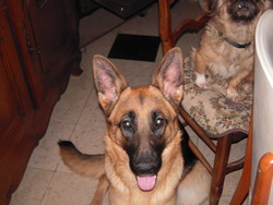 Filska, chien Berger allemand