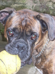 Ulna, chien Boxer