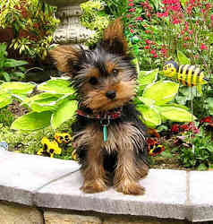 Pulco, chien Yorkshire Terrier