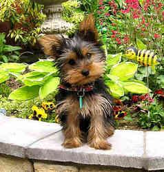 Pulco, chien Yorkshire Terrier