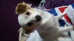 Bea, chien Chihuahua