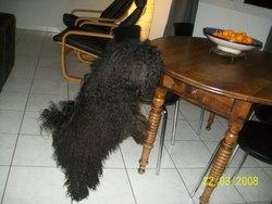 Tintou, chien Puli