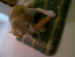 Roxanne, chien Labrador Retriever