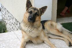 Djazz, chien Berger allemand