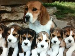 Beagle, chien Beagle