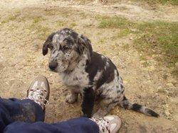 Beatlejuice, chien Labrador Retriever