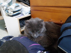 Beau Chat Gris, chat