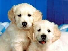 Beauceau, chien