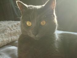 Beauté, chat Chartreux