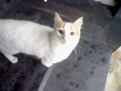 Beaute, chat Turkish Van