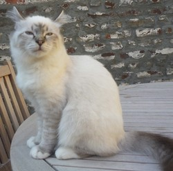 Eole, chat Birman